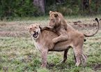 Two young lions play together while the rest of the pride sleeps off a big meal