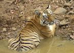 An adult male tiger resting in a water body, Tadoba