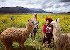 Alpaca walk in the Sacred Valley