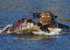 Hippo, Moremi Wildlife Reserve