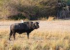 Buffalo in Mahangu Game Park, Namibia