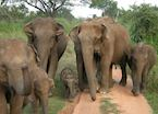 Wild elephants, Uda Walawe National Park
