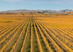 Vineyard in the Marlborough region, New Zealand