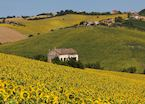 Tuscan sunflower field