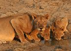 Lioness & cubs drinking from a waterhole