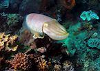 Cuttlefish, Sulawesi