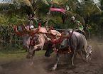 Negara buffalo racing near Medewi, Indonesia