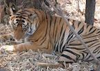 Tiger resting under some bamboo vegetation, Bandhavgarh