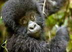 Baby mountain gorilla, Volcanoes National Park