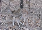 A spotted deer with its young one at Gir