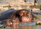 Hippo and youngster, Chobe National Park