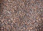 Coffee beans at a local coffee farm, Munduk