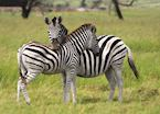 Zebras in the Eastern Cape