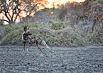African wild dog at dawn, Mana Pools