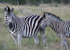 Zebra in The Sabi Sabi Wildtuin