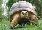 Giant tortoise at Bird Island