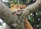Tree-climbing lion, Ishasha