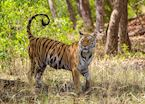 An alert young tiger in Bandhavgarh National Park