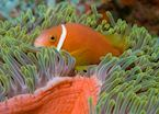 Clownfish, The Maldives