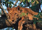 Tree climbing lion of the Busanga Plains