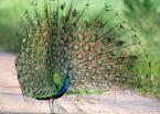 Peacock, Uda Walawe, Sri Lanka