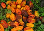 Cacao Plantation Tour, Punta Gorda