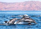 Dolphins, Baja California