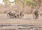 Elephant herd, Mana Pools