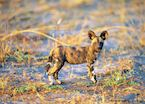 Wild dog puppy, Kwando Concession, Botswana