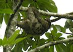 Three toed sloth near Arenal, Costa Rica