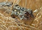 Chameleon, NamibRand Nature Reserve, Namibia