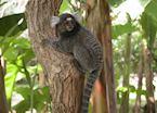 Monkey, Bahia, Brazil