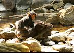 Chimpanzee mother and baby, Mahale Mountains