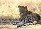 A leopard cools off in the shade