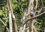 Kingfisher at Puerto Valle