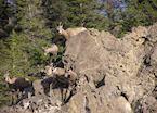 Sheep in Jasper