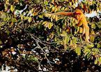 Proboscis monkey, Kinabatangan River, Malaysian Borneo