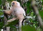Morph red-leaf monkey, Danum valley, Malaysian Borneo