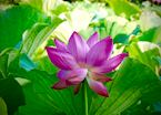 Lotus Flower in Full Bloom