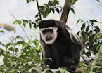Black and White Colobus Monkey in Bwindi Impenetrable National Park