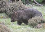 Wombat, Cradle Mountain