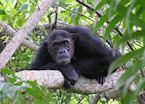 Chimpanzee tracking, Mahale Mountains National Park