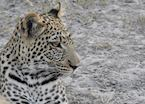 Leopard, Kwando Concession, Okavango Delta