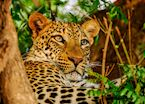 Leopard,Lower Zambezi National Park,Zambia
