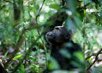 Male chimpanzee in Kibale Forest National Park, Uganda