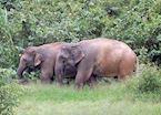 Wild elephants, Kui Buri