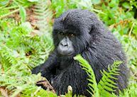 Black Back Mountain Gorilla, Umubano Group, Rwanda