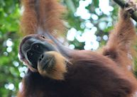 Wild male Orangutan near the Ecolodge, Bukit Lawang