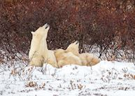 Polar Bear viewing from Lazy Bear Lodge, Churchill