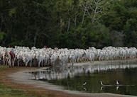Cowboy and cattle at Fazenda Barranco Alto